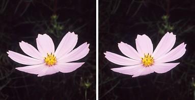 コスモスの花.jpg