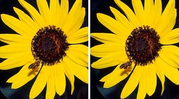 ヒマワリとミツバチ.jpg