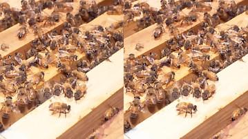 ミツバチの巣.jpg