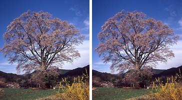 一本桜.jpg