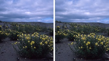 砂丘の花.jpg