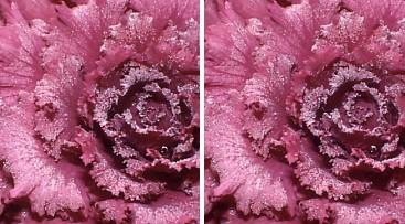 葉牡丹の霜.jpg