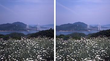 除虫菊.jpg